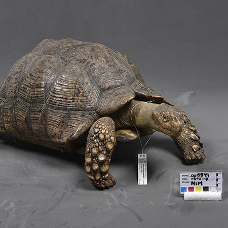 Image de tortue empaillée
