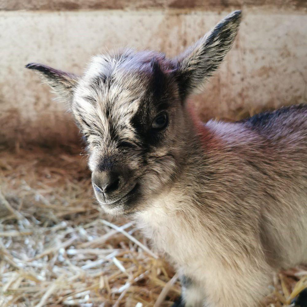9 petites chèvres sont nées